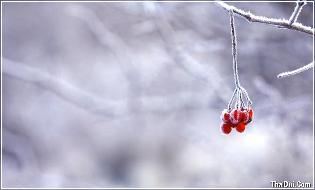 ảnh chùm trái cây phủ đầy tuyết trắng mùa đông